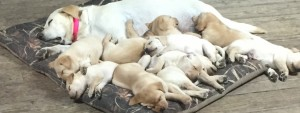 AKC Lab Puppies 2
