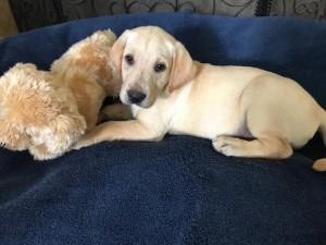 Sandy - Beau pups 1